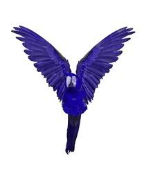 blue flying macaw isolated on white background
