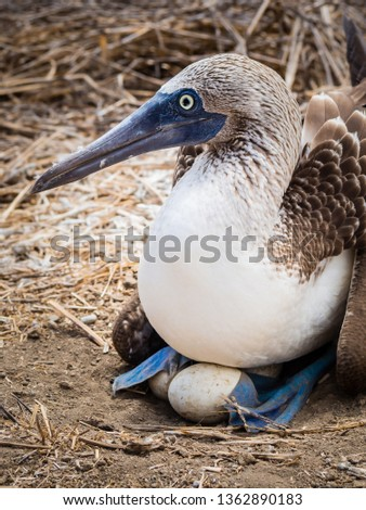 Blue-footed Alcatraz hatching eggs on the island of La Plata in Ecuador. Close up pic