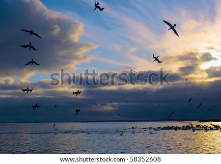 blue footed boobies dive at sunrise fishing. santa cruz island, galapagos