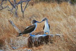 Blue-Footed Boobies doing mating dance on Galapagos islands, Ecuador, South America