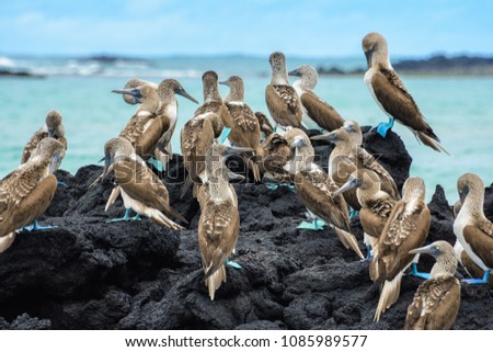 Blue footed boobies on a rock, Isabela island, Ecuador #1085989577