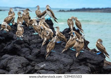 Blue footed boobies on a rock, Isabela island, Ecuador