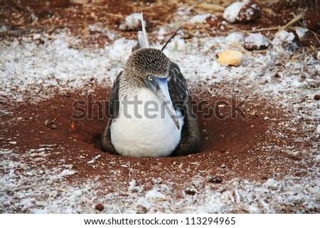Blue Footed Booby - a bird endemic to Galapagos Islands, Ecuador