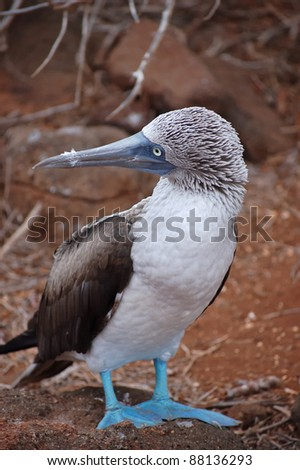 Blue-footed Booby, Galapagos.