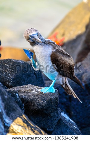 Blue-footed booby in mating ritual on a rock in the Galapagos Islands, Ecuador #1385241908