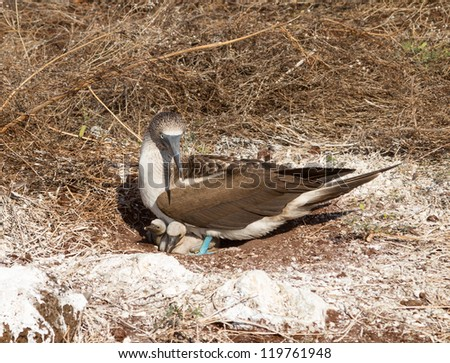 Blue footed booby is seabird with baby chick living on Galapagos Islands National Park in Ecuador