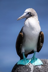 Blue-footed Booby on a lava stone in portrait