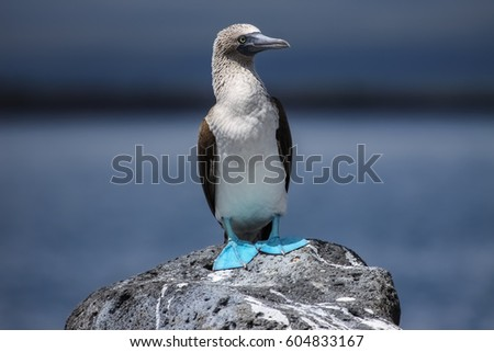 Blue-footed booby on a rock, North Seymour, Galapagos, Ecuador #604833167