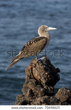 Blue-footed Booby (Sula nebouxii excisa), on Bartolome Island, Galapagos.