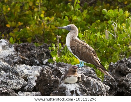 Blue footed booby, Sula nebouxii, in Galapagos islands.