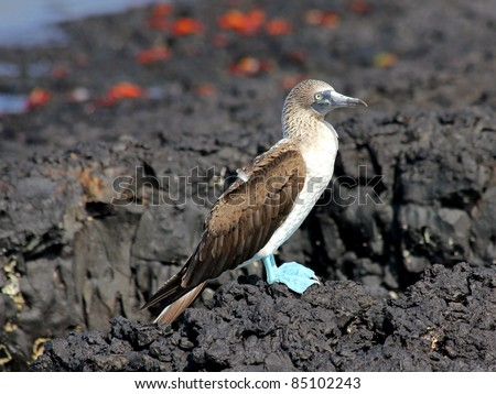 Blue-footed Booby (Sula nebouxii) in the Galapagos Islands