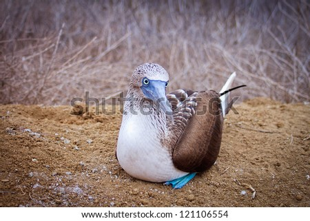 Blue-footed Booby (sula nebouxii) on Isla de la Plata, Ecuador