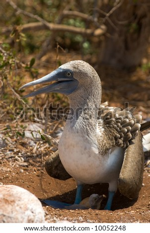 blue-footed booby with nestling, galapagos islands, equador