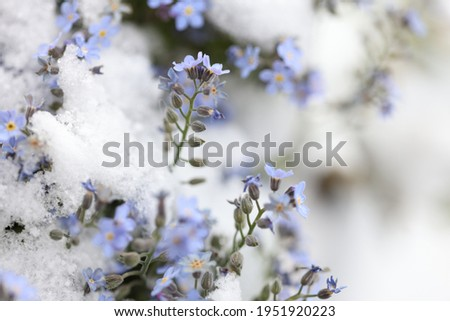 Blue forgetmenot blossoms covered with snow Stok fotoğraf ©