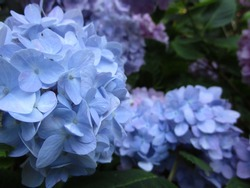 Blue French Hydrangea Flowers Close Up