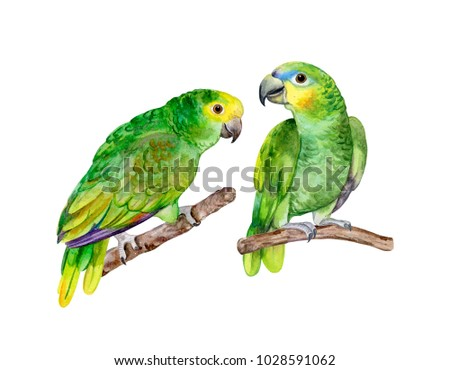 Blue fronted Amazon parrot isolated on white background. Green Parrot. Illustration. Watercolor. Template