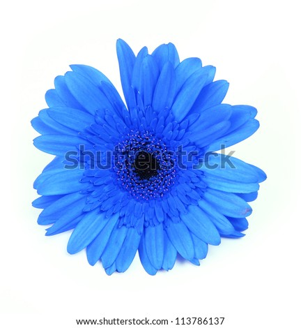 blue gerbera flower isolated on white background