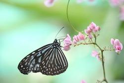 blue glassy tiger butterfly on flower