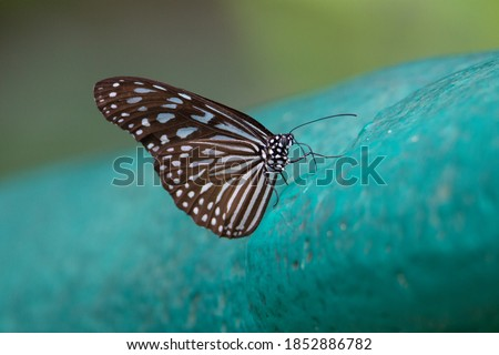 Photo of  blue glassy tiger (Ideopsis vulgaris) a blue glassy tiger butterfly resting on a pale blue painted rock