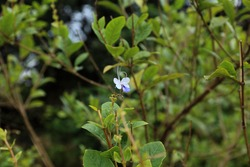 Blue Glory Bower Clerodendrum ugandense