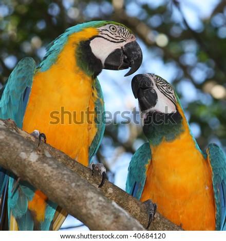 Blue & Gold Macaw - Ara arauna