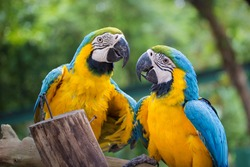 Blue & Gold Macaw concept love