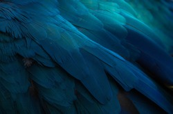 blue gold macaw'feathers