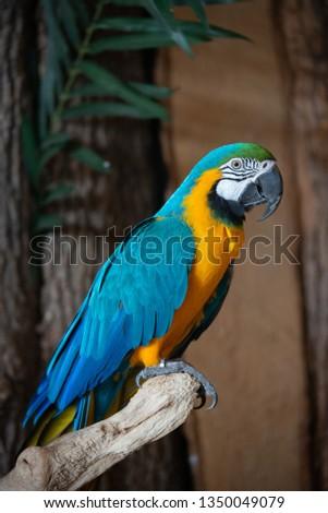 Blue Gold Macaw Parrot (Ara ararauna) Perched on Artificial Branch Perch  - Bird Kingdom (Niagara Falls, Canada) #1350049079