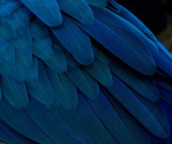 blue gold macaw's feather