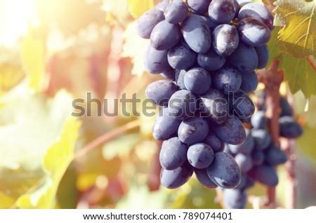 Blue grape cluster against sunlight closeup view #789074401