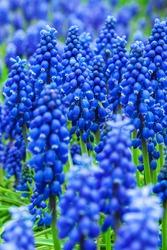 Blue grape hyacinth flowers as nice spring background
