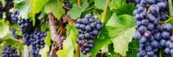 Blue grape rows in autumn foggy morning, german vineyard. New vintage wine background concept, banner
