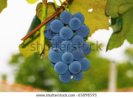 Blue grapes #65898595