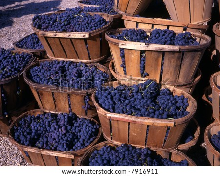 Blue grapes after the harvest in wedge baskets