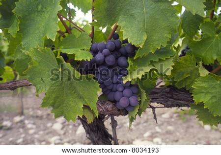 Blue grapes at the vineyard