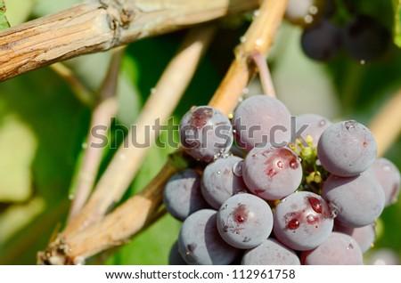 Blue grapes cluster on vine, closeup photo