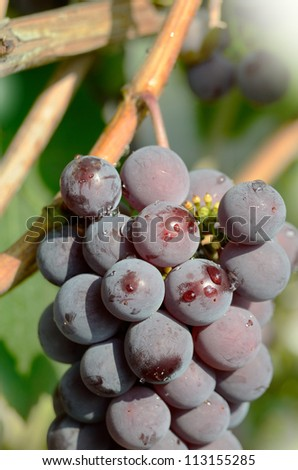 Blue grapes cluster on vine, closeup photo
