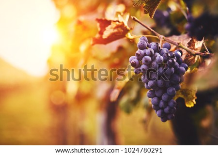 Blue grapes in a vineyard at sunset, toned image