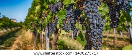 blue grapes in green vineyards .summer vineyards nature  #1490273717