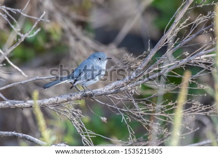 Blue Gray Gnatcatcher firmly grasp tree branch perch while searching for morning food.
