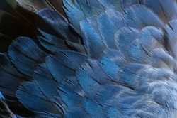 Blue, grey and white feathers on the wing of a wild duck as a background. Close-up colorful feathers, bird feathers background texture. Selective focus.