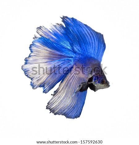 Blue Half Moon Betta Fish Blue Half Moon Siamese