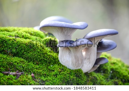 Blue hat of oyster mushrooms growing on green moss close up