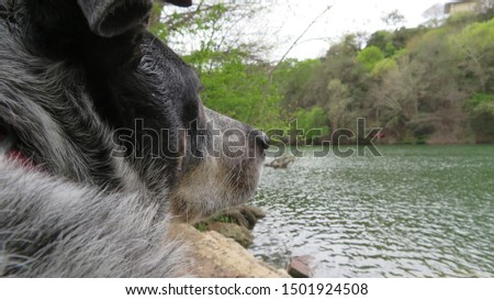 Blue Healer, Australian Cattle Dog, in the foreground stares out over the water at Red Bud Isle off-leash dog park in Austin, Texas.