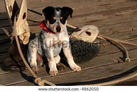 Blue Heeler Pup sitting with lariat and boots - stock photo