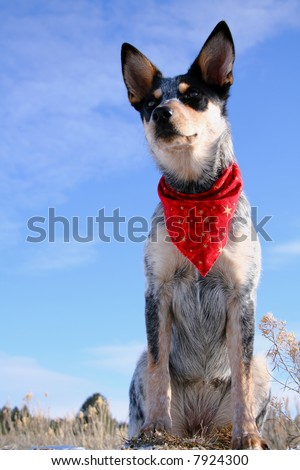 Blue Heeler puppy sporting a red bandana - stock photo