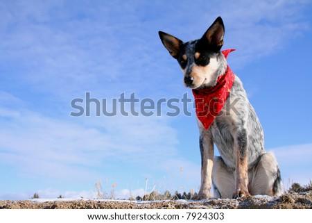 Blue Heeler puppy sporting a red bandana