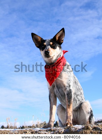 Blue Heeler puppy sporting a red bandana