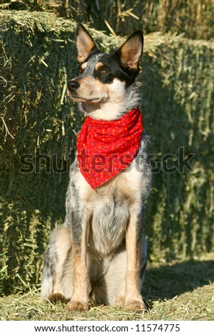 Blue Heeler puppy sporting a red bandana on hay bales