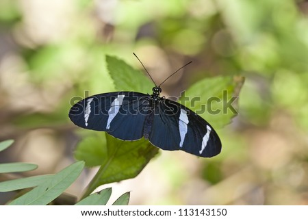 Blue Heliconius butterfly resting on leaf
